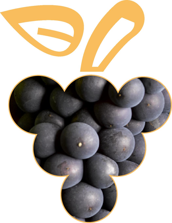Photo de baies de Pinot Noir, cépage noble d'Alsace