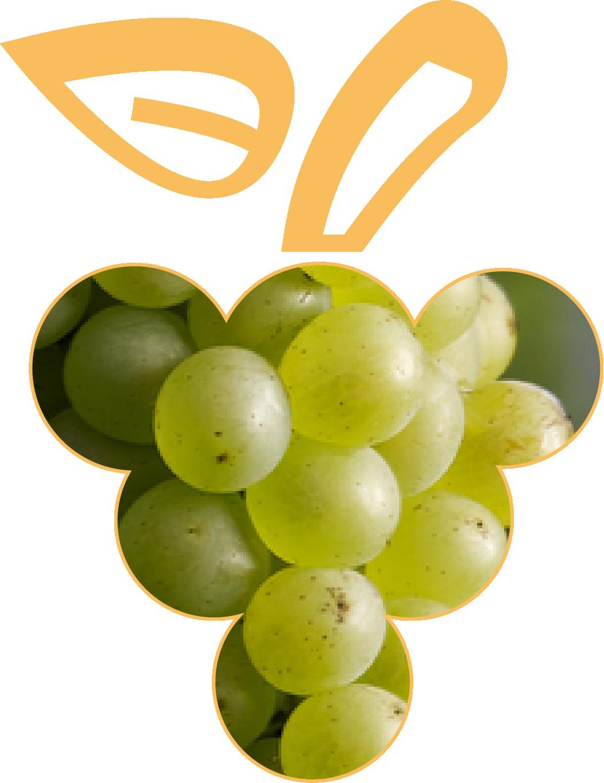 Photo des baies de Pinot Blanc, cépage noble d'Alsace