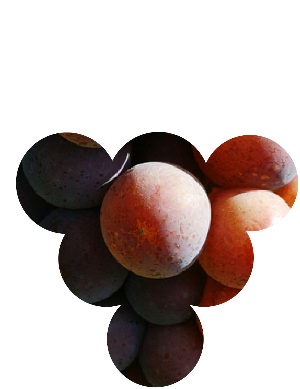 Photo des baies de Pinot Gris, cépage noble d'Alsace